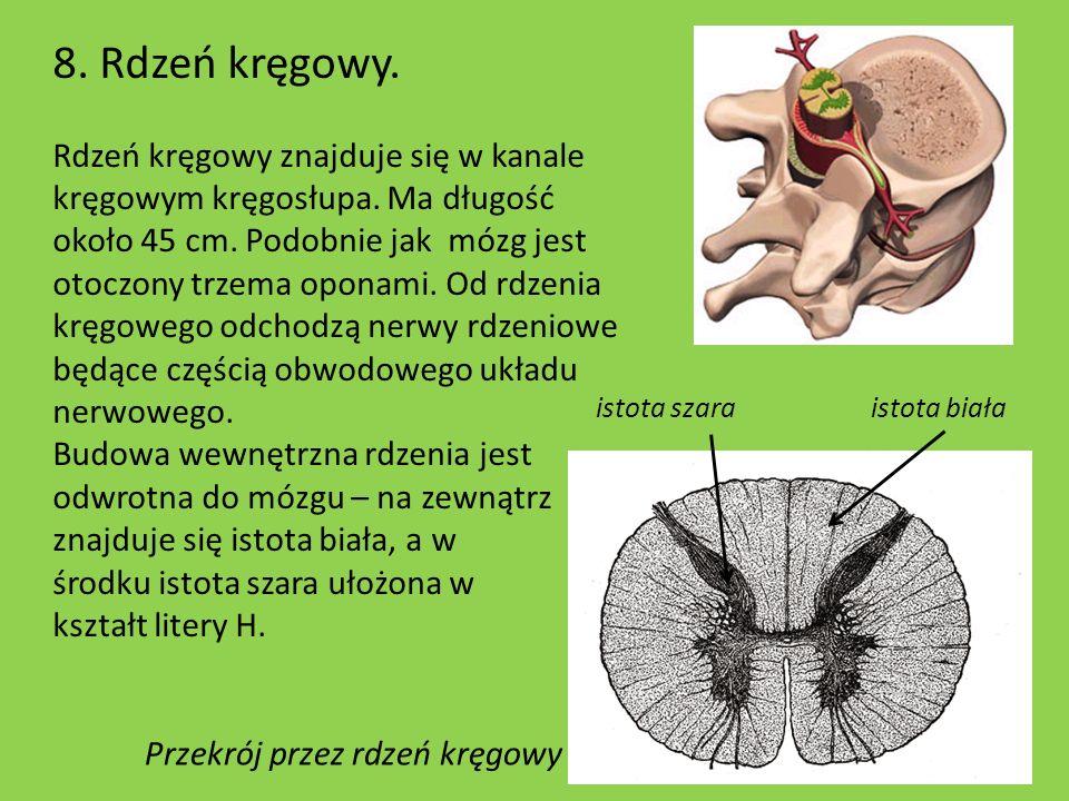 8. Rdzeń kręgowy. Rdzeń kręgowy znajduje się w kanale kręgowym kręgosłupa. Ma długość około 45 cm. Podobnie jak mózg jest otoczony trzema oponami. Od