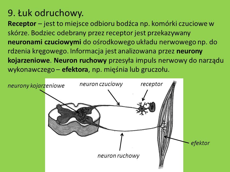 9. Łuk odruchowy. Receptor – jest to miejsce odbioru bodźca np. komórki czuciowe w skórze. Bodziec odebrany przez receptor jest przekazywany neuronami