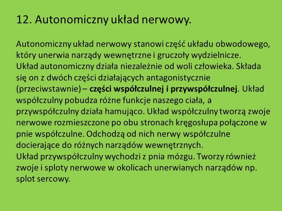 12. Autonomiczny układ nerwowy. Autonomiczny układ nerwowy stanowi część układu obwodowego, który unerwia narządy wewnętrzne i gruczoły wydzielnicze.