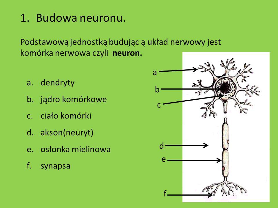 1.Budowa neuronu. Podstawową jednostką budując ą układ nerwowy jest komórka nerwowa czyli neuron. a b d c e f a.dendryty b.jądro komórkowe c.ciało kom