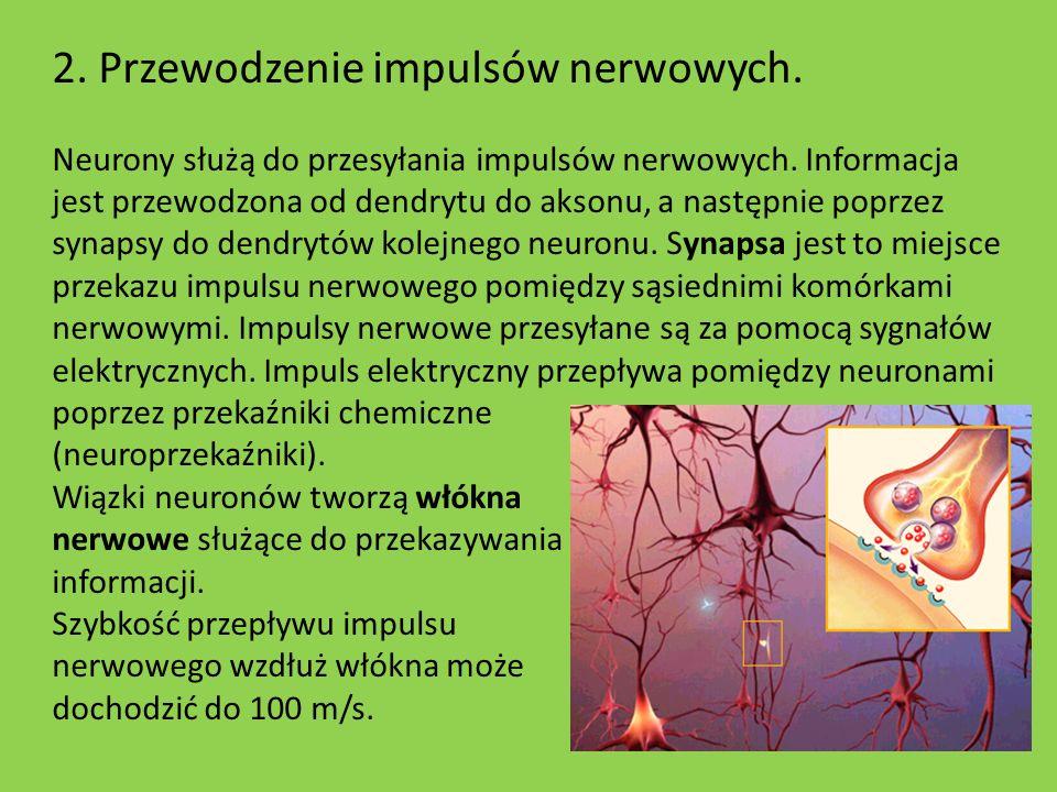 2. Przewodzenie impulsów nerwowych. Neurony służą do przesyłania impulsów nerwowych. Informacja jest przewodzona od dendrytu do aksonu, a następnie po