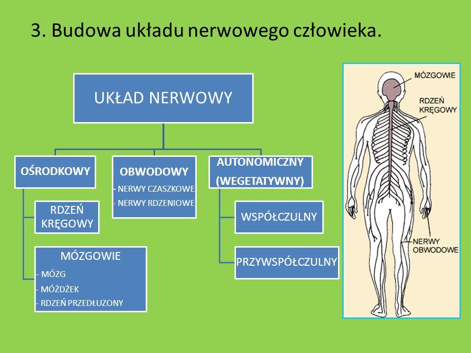 3. Budowa układu nerwowego człowieka. UKŁAD NERWOWY OŚRODKOWY RDZEŃ KRĘGOWY MÓZGOWIE - MÓZG - MÓŻDŻEK - RDZEŃ PRZEDŁUZONY OBWODOWY - NERWY CZASZKOWE -