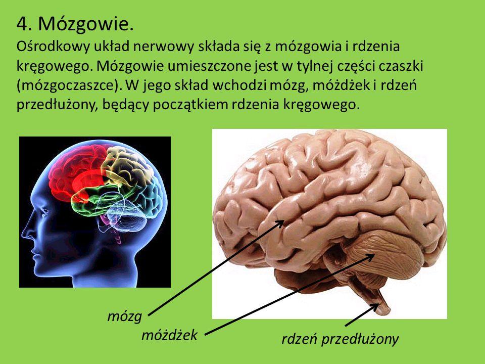 4. Mózgowie. Ośrodkowy układ nerwowy składa się z mózgowia i rdzenia kręgowego. Mózgowie umieszczone jest w tylnej części czaszki (mózgoczaszce). W je