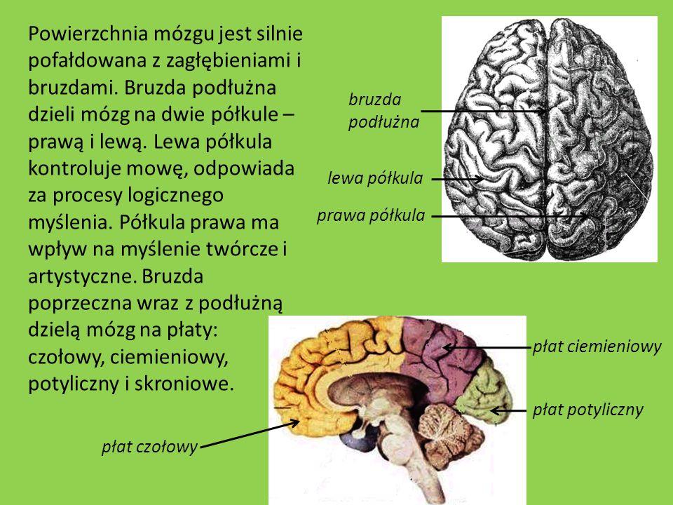 Powierzchnia mózgu jest silnie pofałdowana z zagłębieniami i bruzdami. Bruzda podłużna dzieli mózg na dwie półkule – prawą i lewą. Lewa półkula kontro