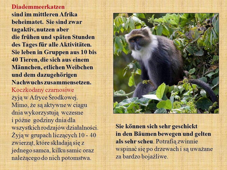 Diademmeerkatzen sind im mittleren Afrika beheimatet. Sie sind zwar tagaktiv, nutzen aber die frühen und späten Stunden des Tages für alle Aktivitäten