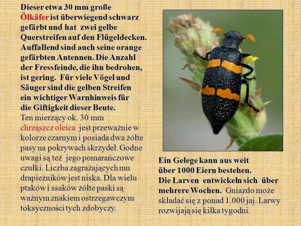 Dieser etwa 30 mm große Ölkäfer ist überwiegend schwarz gefärbt und hat zwei gelbe Querstreifen auf den Flügeldecken. Auffallend sind auch seine orang