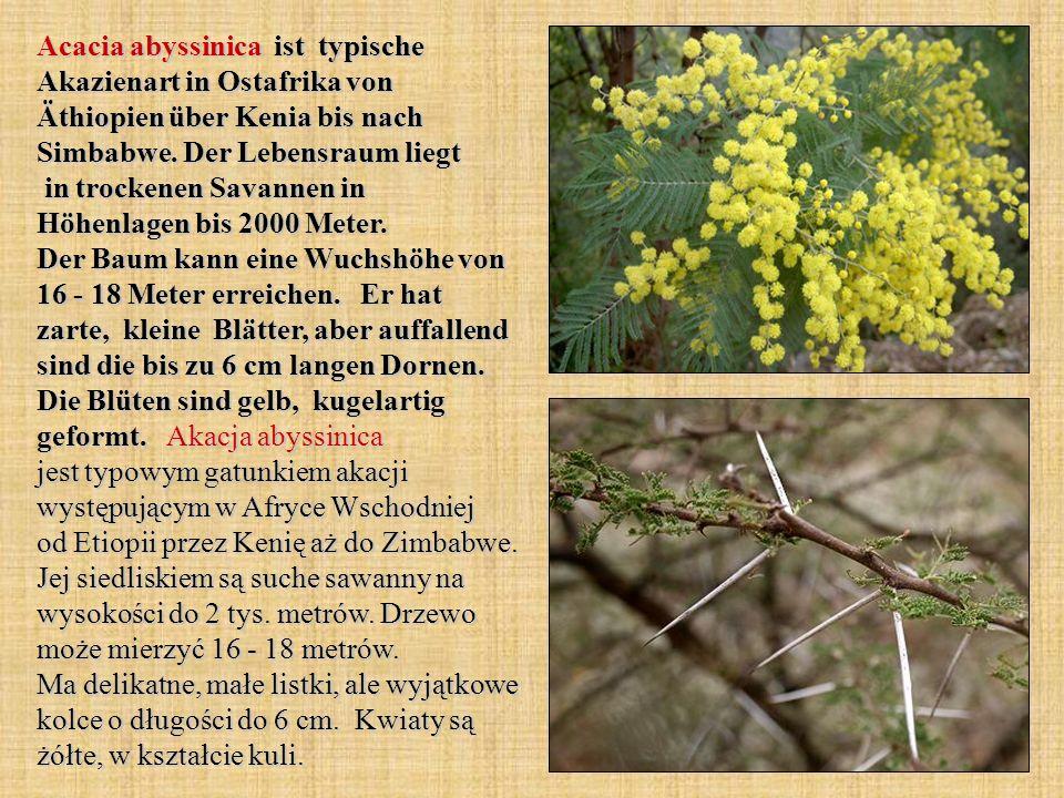 Acacia abyssinica ist typische Akazienart in Ostafrika von Äthiopien über Kenia bis nach Simbabwe. Der Lebensraum liegt in trockenen Savannen in Höhen