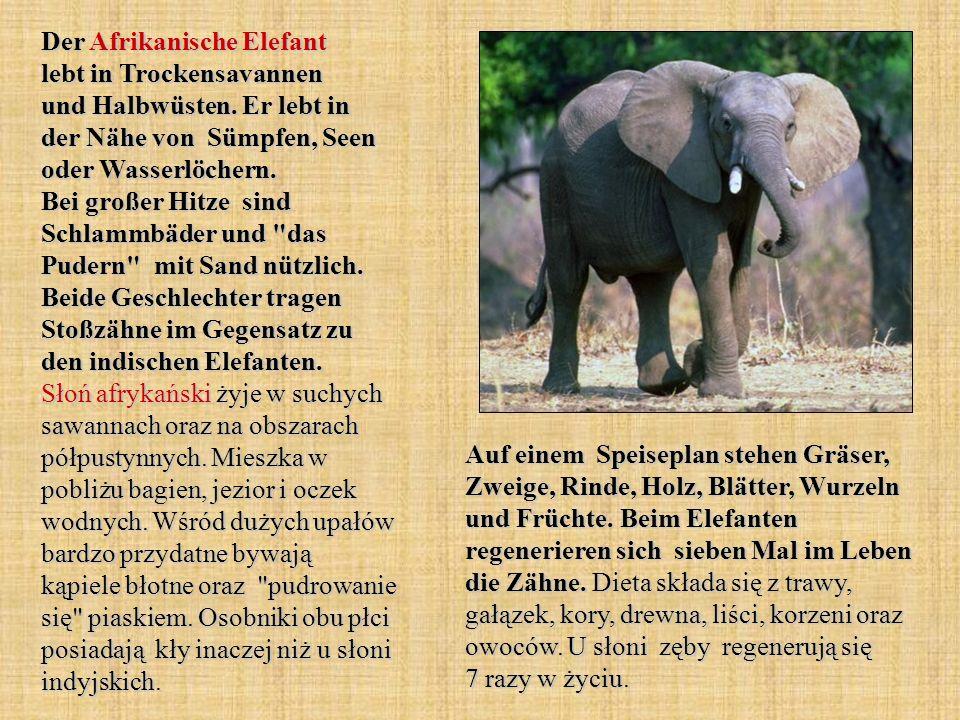 Der Afrikanische Elefant lebt in Trockensavannen und Halbwüsten. Er lebt in der Nähe von Sümpfen, Seen oder Wasserlöchern. Bei großer Hitze sind Schla