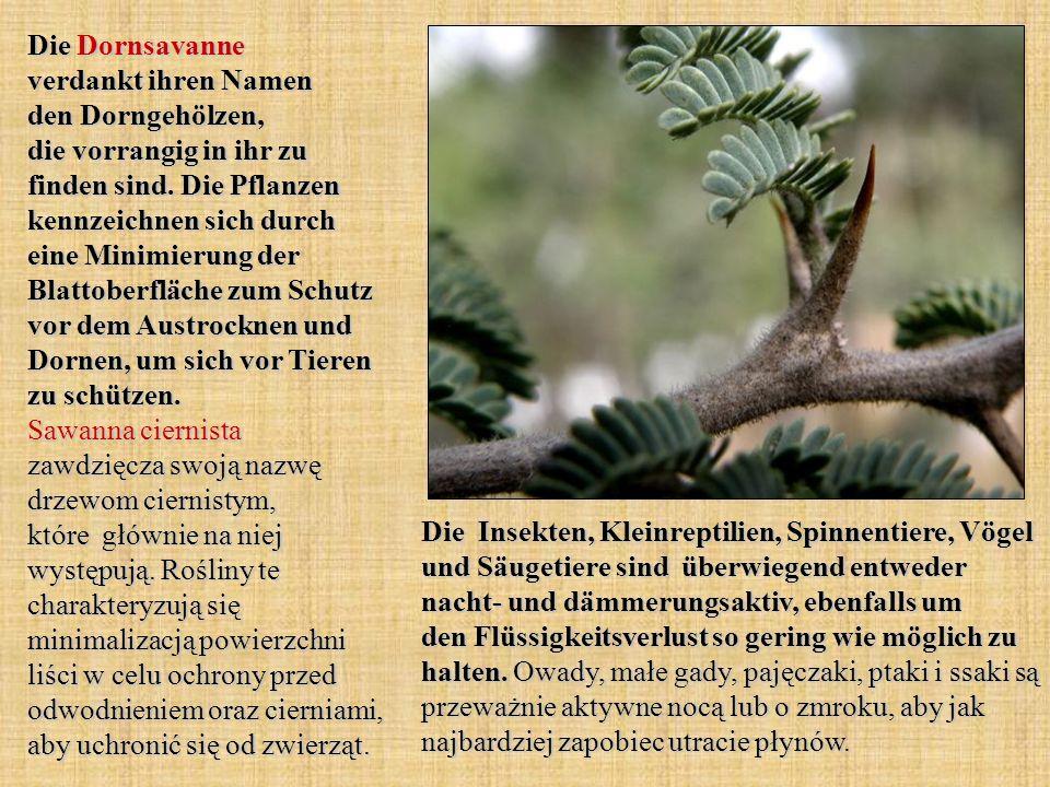 Die Dornsavanne verdankt ihren Namen den Dorngehölzen, die vorrangig in ihr zu finden sind. Die Pflanzen kennzeichnen sich durch eine Minimierung der