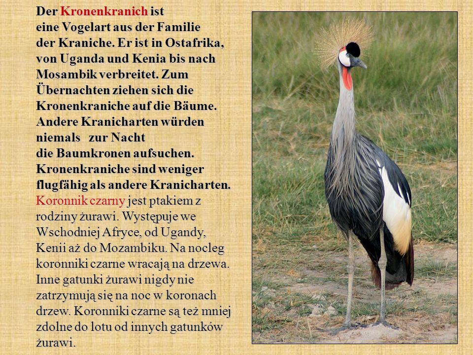 Der Kronenkranich ist eine Vogelart aus der Familie der Kraniche. Er ist in Ostafrika, von Uganda und Kenia bis nach Mosambik verbreitet. Zum Übernach