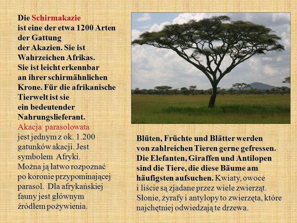 Die Schirmakazie ist eine der etwa 1200 Arten der Gattung der Akazien. Sie ist Wahrzeichen Afrikas. Sie ist leicht erkennbar an ihrer schirmähnlichen
