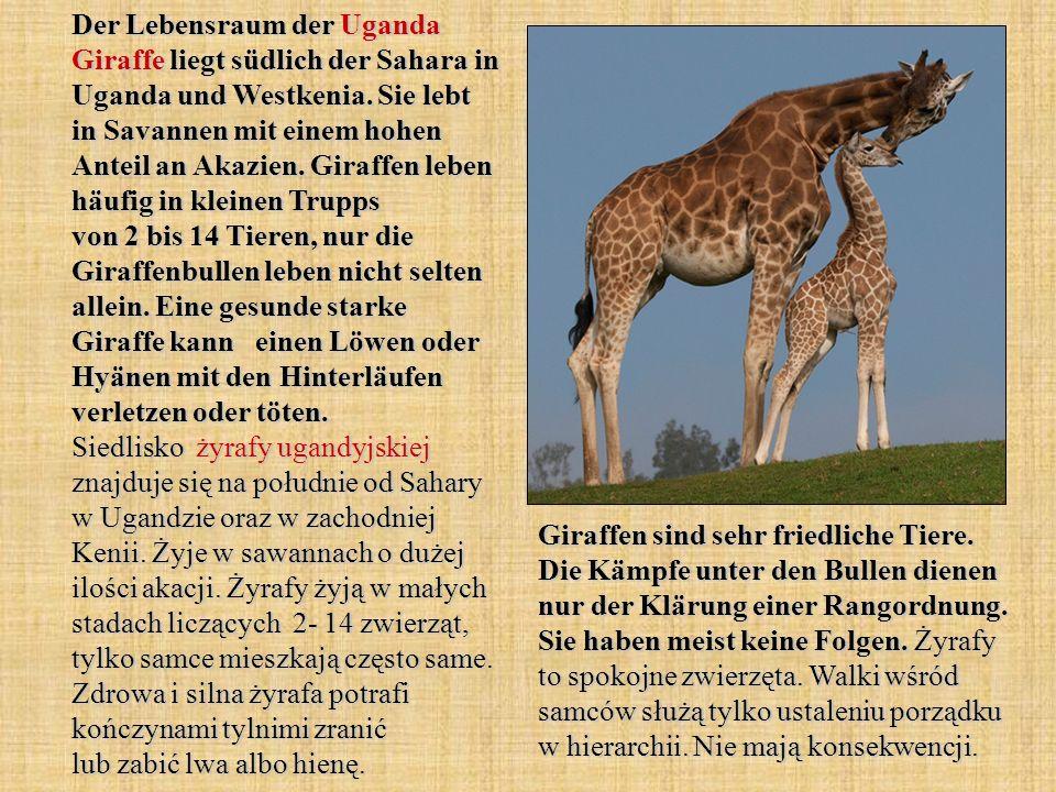 Der Lebensraum der Uganda Giraffe liegt südlich der Sahara in Uganda und Westkenia. Sie lebt in Savannen mit einem hohen Anteil an Akazien. Giraffen l