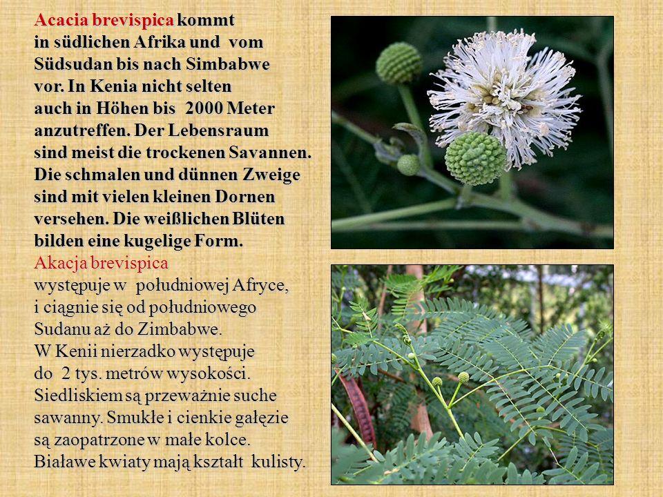 Acacia brevispica kommt in südlichen Afrika und vom Südsudan bis nach Simbabwe vor. In Kenia nicht selten auch in Höhen bis 2000 Meter anzutreffen. De
