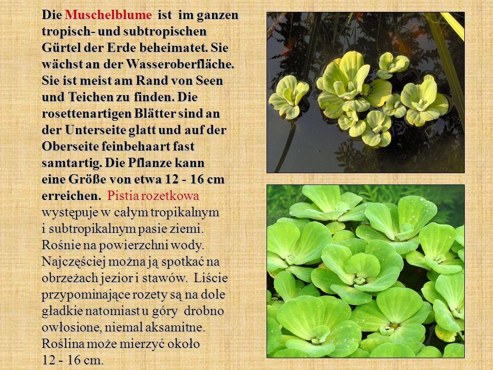 Die Muschelblume ist im ganzen tropisch- und subtropischen Gürtel der Erde beheimatet. Sie wächst an der Wasseroberfläche. Sie ist meist am Rand von S