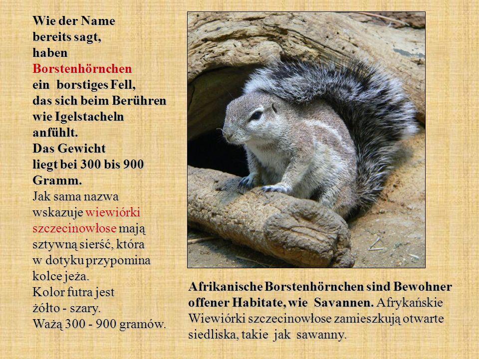 Wie der Name bereits sagt, haben Borstenhörnchen ein borstiges Fell, das sich beim Berühren wie Igelstacheln anfühlt. Das Gewicht liegt bei 300 bis 90