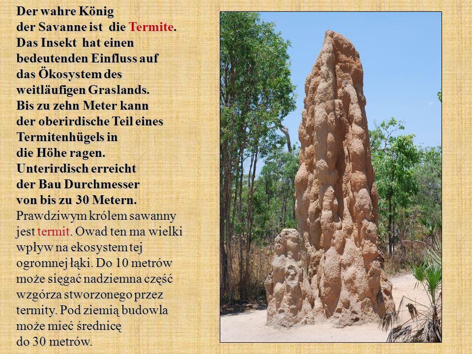 Der wahre König der Savanne ist die Termite. Das Insekt hat einen bedeutenden Einfluss auf das Ökosystem des weitläufigen Graslands. Bis zu zehn Meter