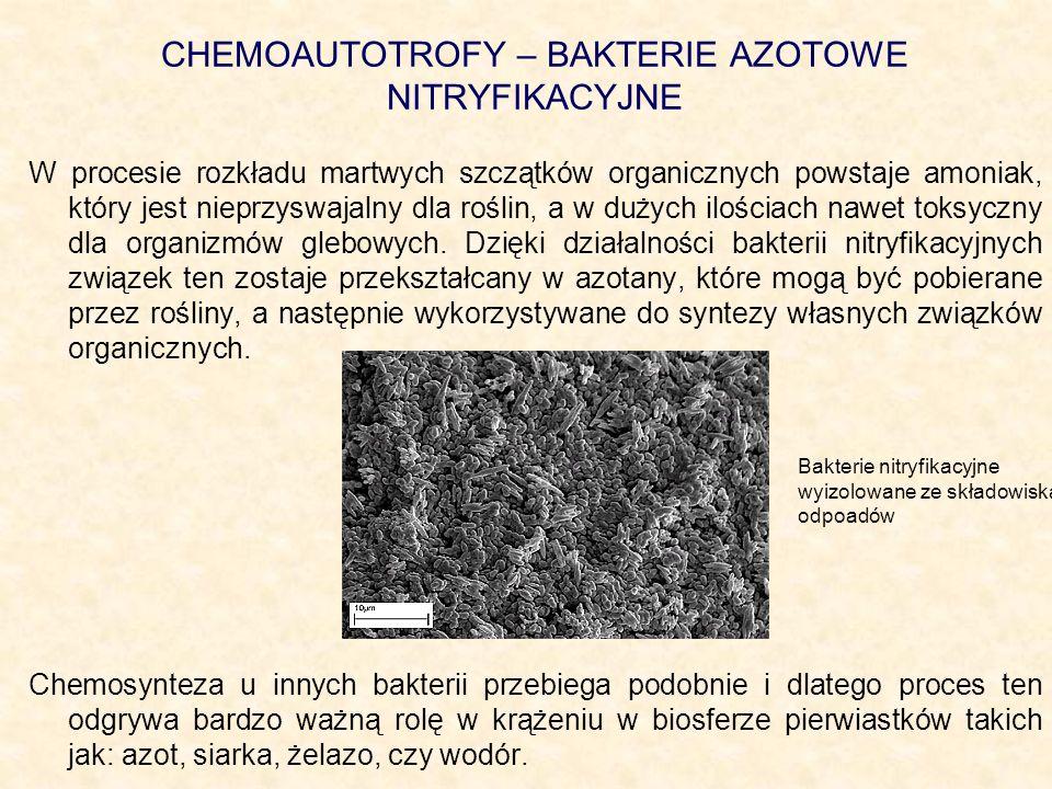CHEMOAUTOTROFY – BAKTERIE AZOTOWE NITRYFIKACYJNE W procesie rozkładu martwych szczątków organicznych powstaje amoniak, który jest nieprzyswajalny dla