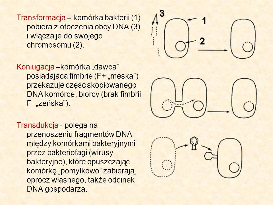 Transformacja – komórka bakterii (1) pobiera z otoczenia obcy DNA (3) i włącza je do swojego chromosomu (2). Koniugacja –komórka dawca posiadająca fim
