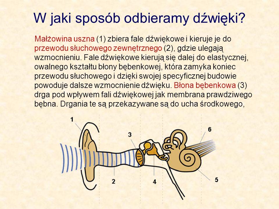 W jaki sposób odbieramy dźwięki? Małżowina uszna (1) zbiera fale dźwiękowe i kieruje je do przewodu słuchowego zewnętrznego (2), gdzie ulegają wzmocni