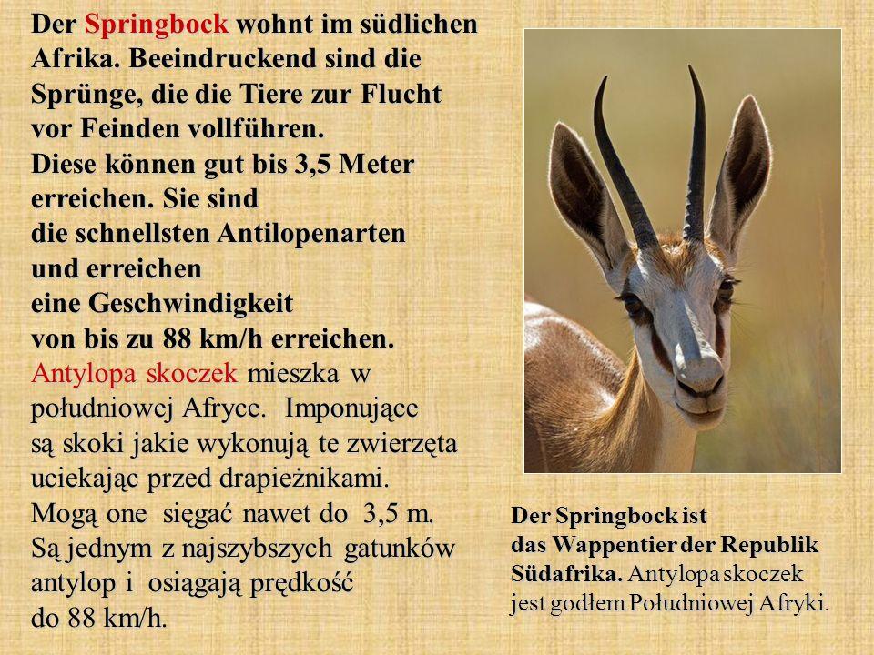 Der Springbock wohnt im südlichen Afrika. Beeindruckend sind die Sprünge, die die Tiere zur Flucht vor Feinden vollführen. Diese können gut bis 3,5 Me