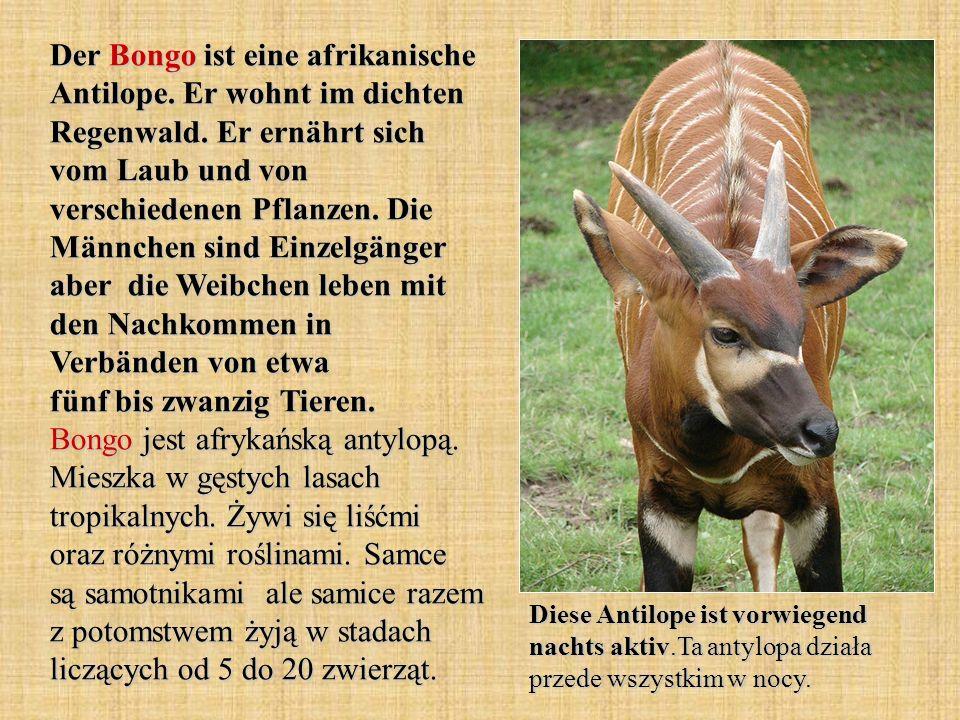 Der Bongo ist eine afrikanische Antilope. Er wohnt im dichten Regenwald. Er ernährt sich vom Laub und von verschiedenen Pflanzen. Die Männchen sind Ei