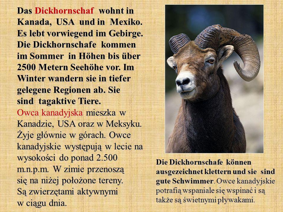 Das Dickhornschaf wohnt in Kanada, USA und in Mexiko. Es lebt vorwiegend im Gebirge. Die Dickhornschafe kommen im Sommer in Höhen bis über 2500 Metern