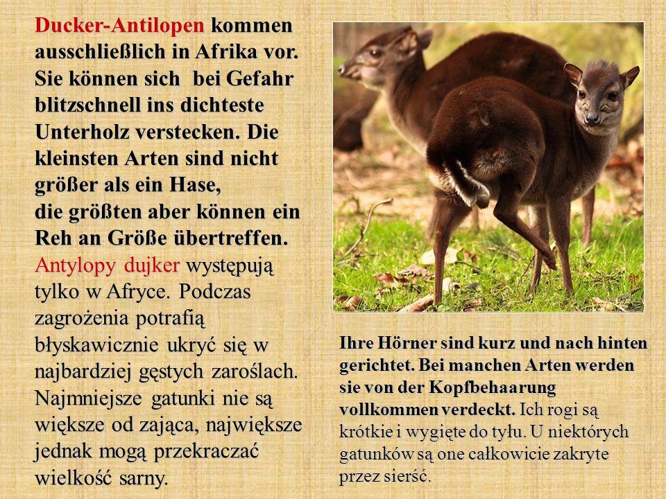 Ducker-Antilopen kommen ausschließlich in Afrika vor. Sie können sich bei Gefahr blitzschnell ins dichteste Unterholz verstecken. Die kleinsten Arten