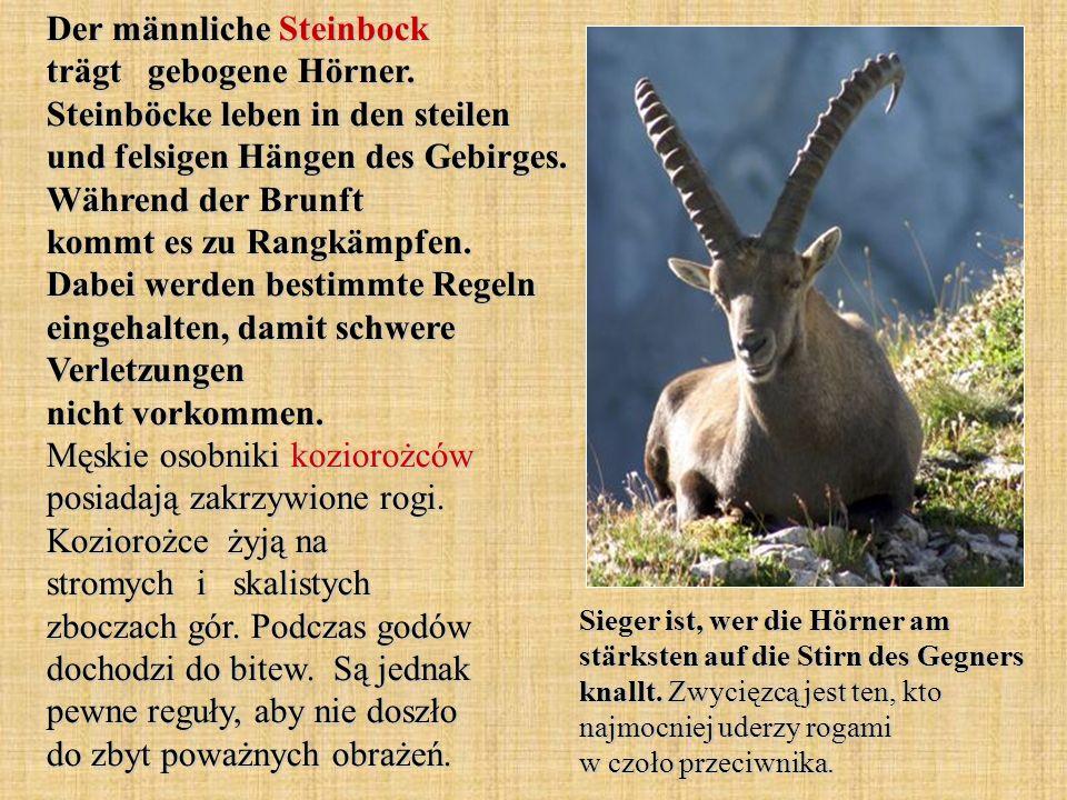Der männliche Steinbock trägt gebogene Hörner. Steinböcke leben in den steilen und felsigen Hängen des Gebirges. Während der Brunft kommt es zu Rangkä