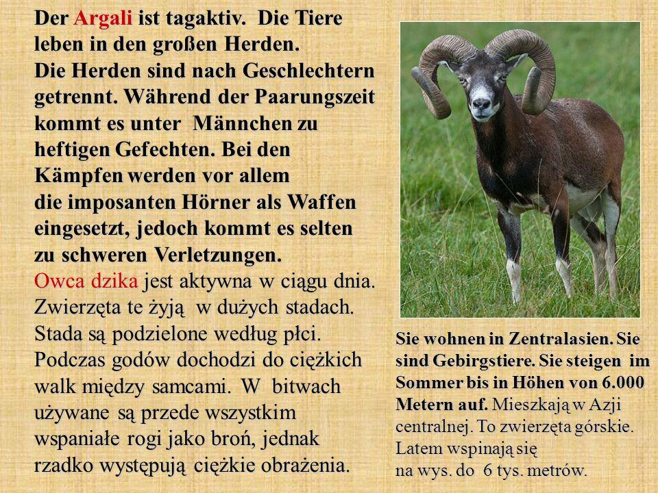 Der Argali ist tagaktiv. Die Tiere leben in den großen Herden. Die Herden sind nach Geschlechtern getrennt. Während der Paarungszeit kommt es unter Mä