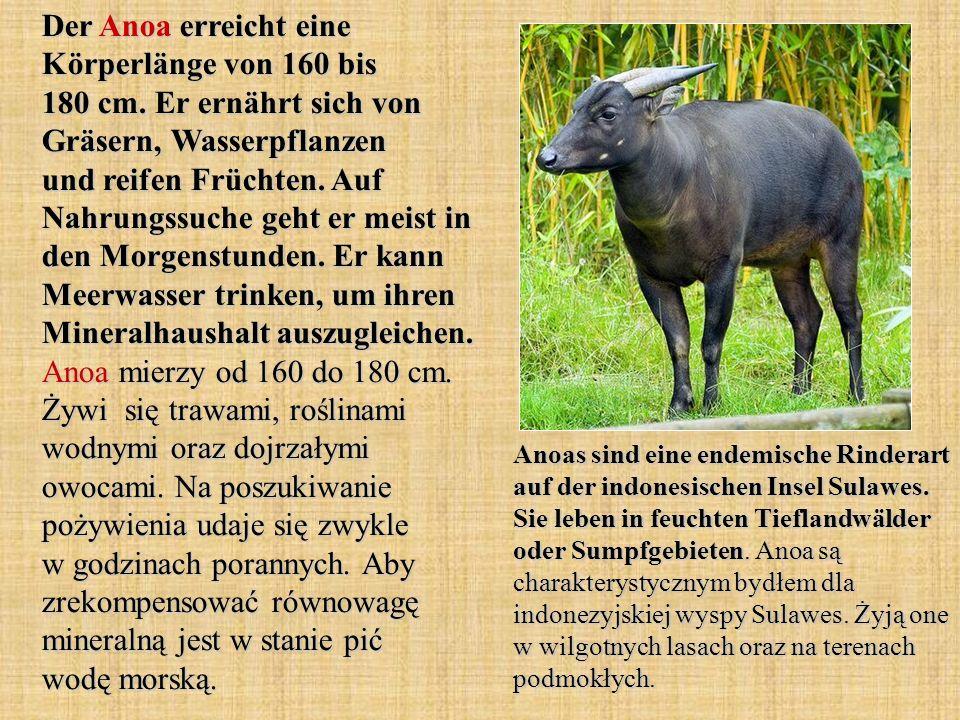 Der Anoa erreicht eine Körperlänge von 160 bis 180 cm. Er ernährt sich von Gräsern, Wasserpflanzen und reifen Früchten. Auf Nahrungssuche geht er meis
