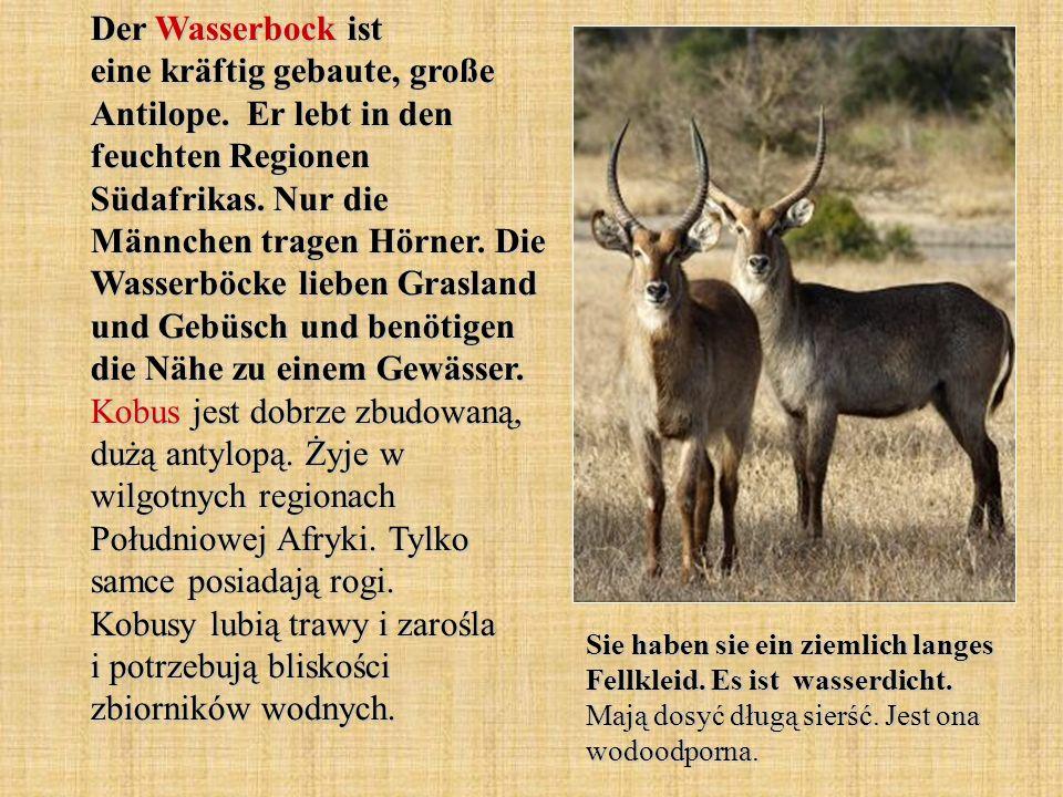 Der Wasserbock ist eine kräftig gebaute, große Antilope. Er lebt in den feuchten Regionen Südafrikas. Nur die Männchen tragen Hörner. Die Wasserböcke