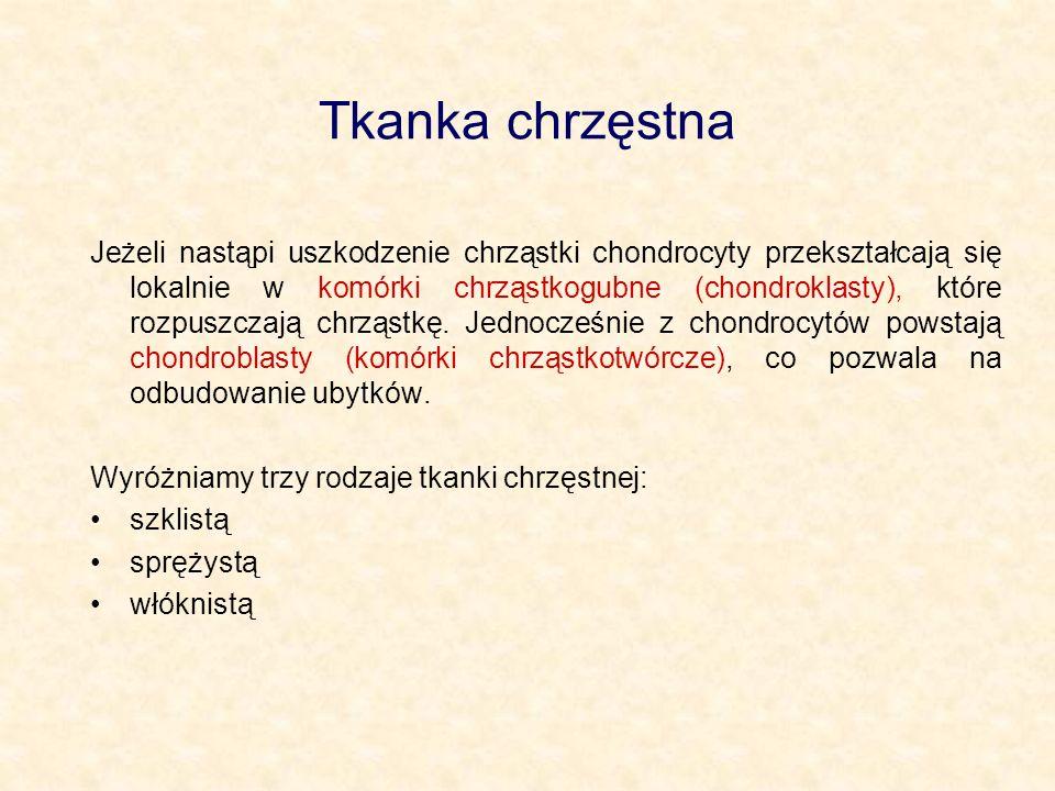 Tkanka chrzęstna Jeżeli nastąpi uszkodzenie chrząstki chondrocyty przekształcają się lokalnie w komórki chrząstkogubne (chondroklasty), które rozpuszc