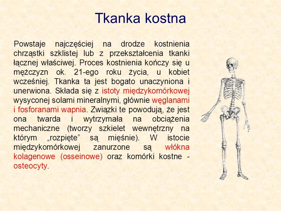 Tkanka kostna Powstaje najczęściej na drodze kostnienia chrząstki szklistej lub z przekształcenia tkanki łącznej właściwej. Proces kostnienia kończy s