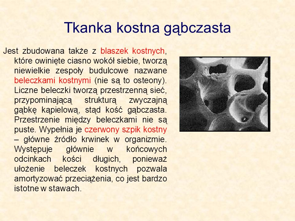 Tkanka kostna gąbczasta Jest zbudowana także z blaszek kostnych, które owinięte ciasno wokół siebie, tworzą niewielkie zespoły budulcowe nazwane belec