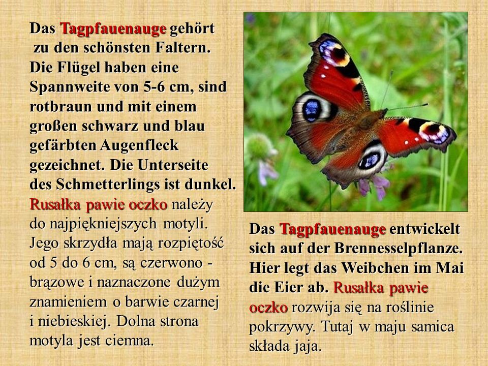 Das Tagpfauenauge gehört zu den schönsten Faltern. Die Flügel haben eine Spannweite von 5-6 cm, sind rotbraun und mit einem großen schwarz und blau ge