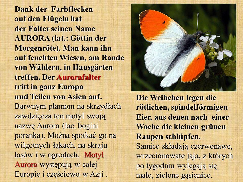 Dank der Farbflecken auf den Flügeln hat der Falter seinen Name AURORA (lat.: Göttin der Morgenröte). Man kann ihn auf feuchten Wiesen, am Rande von W