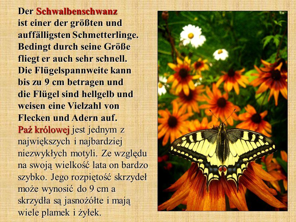 Der Schwalbenschwanz ist einer der größten und auffälligsten Schmetterlinge. Bedingt durch seine Größe fliegt er auch sehr schnell. Die Flügelspannwei