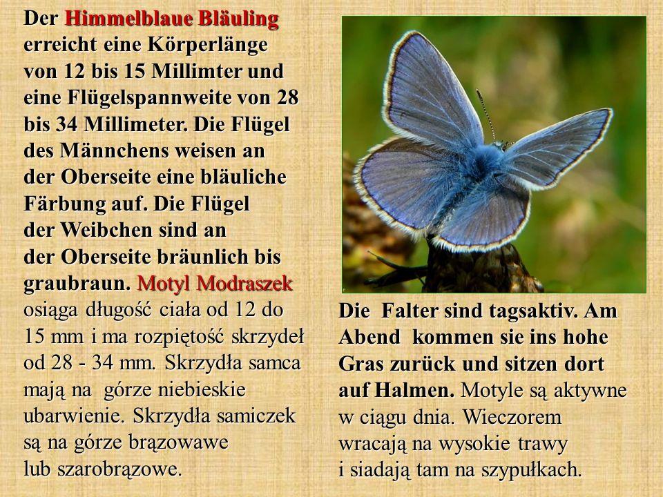 Der Himmelblaue Bläuling erreicht eine Körperlänge von 12 bis 15 Millimter und eine Flügelspannweite von 28 bis 34 Millimeter. Die Flügel des Männchen
