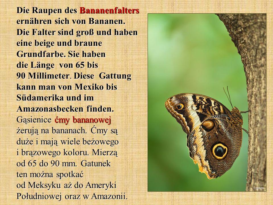 Die Raupen des Bananenfalters ernähren sich von Bananen. Die Falter sind groß und haben eine beige und braune Grundfarbe. Sie haben die Länge von 65 b
