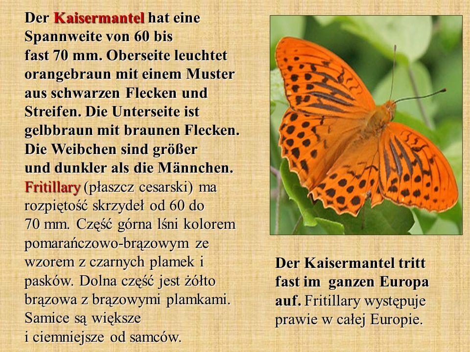 Der Kaisermantel hat eine Spannweite von 60 bis fast 70 mm. Oberseite leuchtet orangebraun mit einem Muster aus schwarzen Flecken und Streifen. Die Un