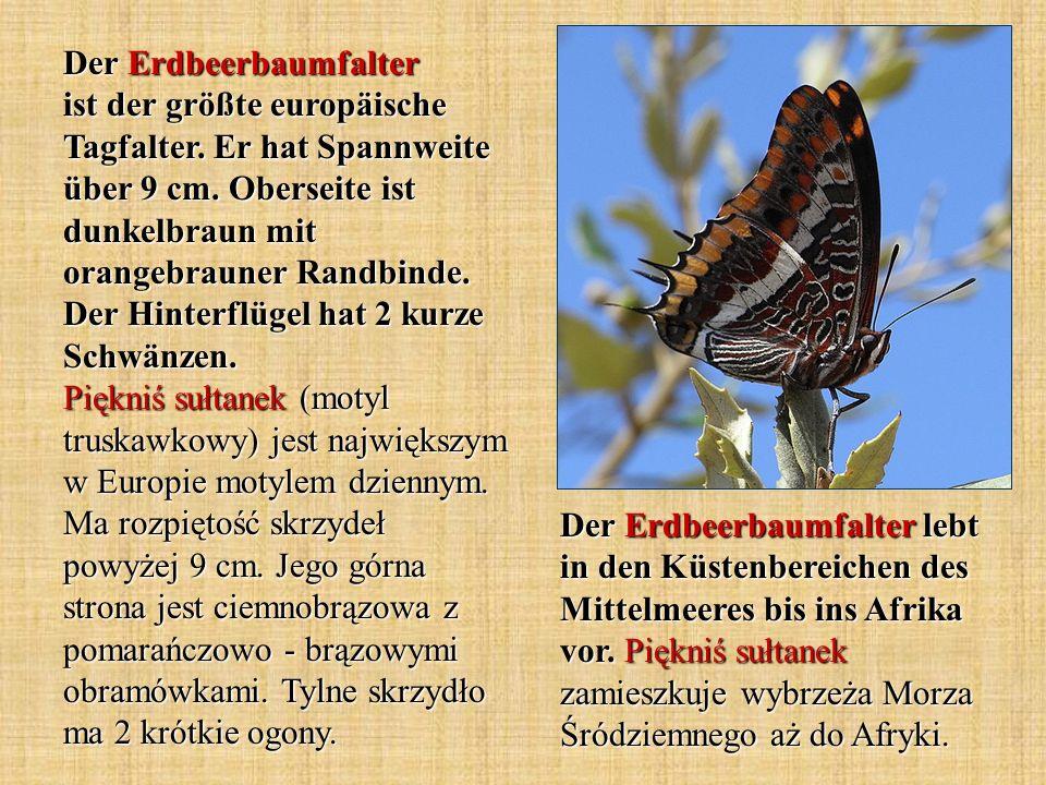 Der Erdbeerbaumfalter ist der größte europäische Tagfalter. Er hat Spannweite über 9 cm. Oberseite ist dunkelbraun mit orangebrauner Randbinde. Der Hi