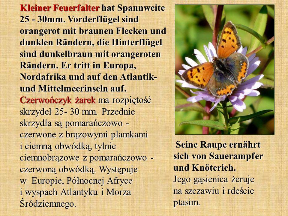 Kleiner Feuerfalter hat Spannweite 25 - 30mm. Vorderflügel sind orangerot mit braunen Flecken und dunklen Rändern, die Hinterflügel sind dunkelbraun m