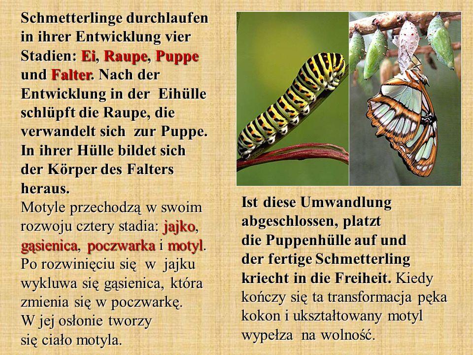 Schmetterlinge durchlaufen in ihrer Entwicklung vier Stadien: Ei, Raupe, Puppe und Falter. Nach der Entwicklung in der Eihülle schlüpft die Raupe, die