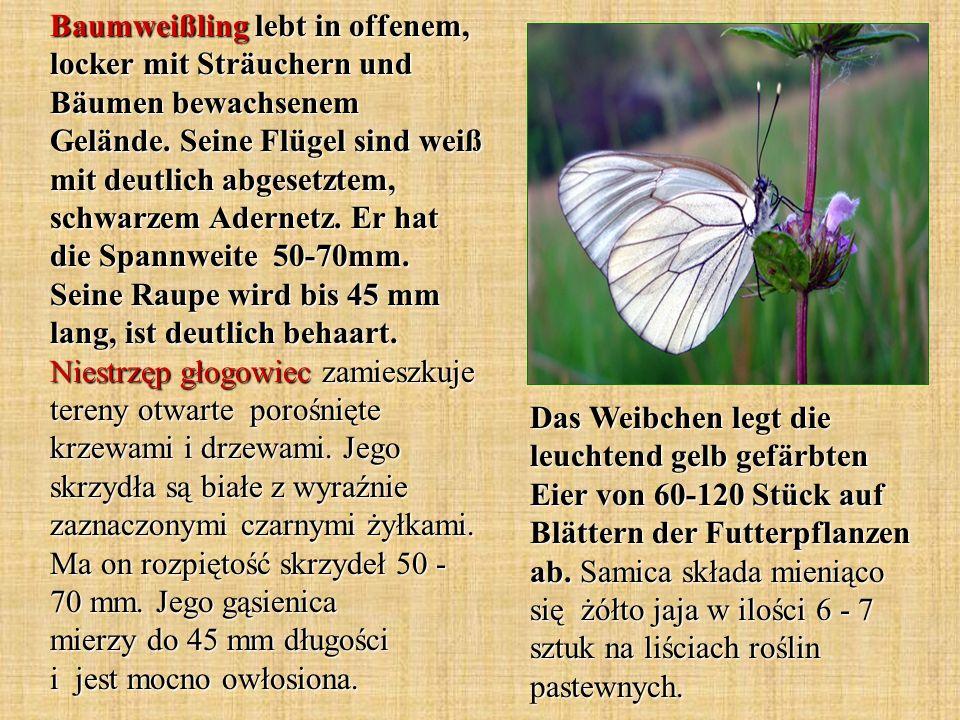 Baumweißling lebt in offenem, locker mit Sträuchern und Bäumen bewachsenem Gelände. Seine Flügel sind weiß mit deutlich abgesetztem, schwarzem Adernet