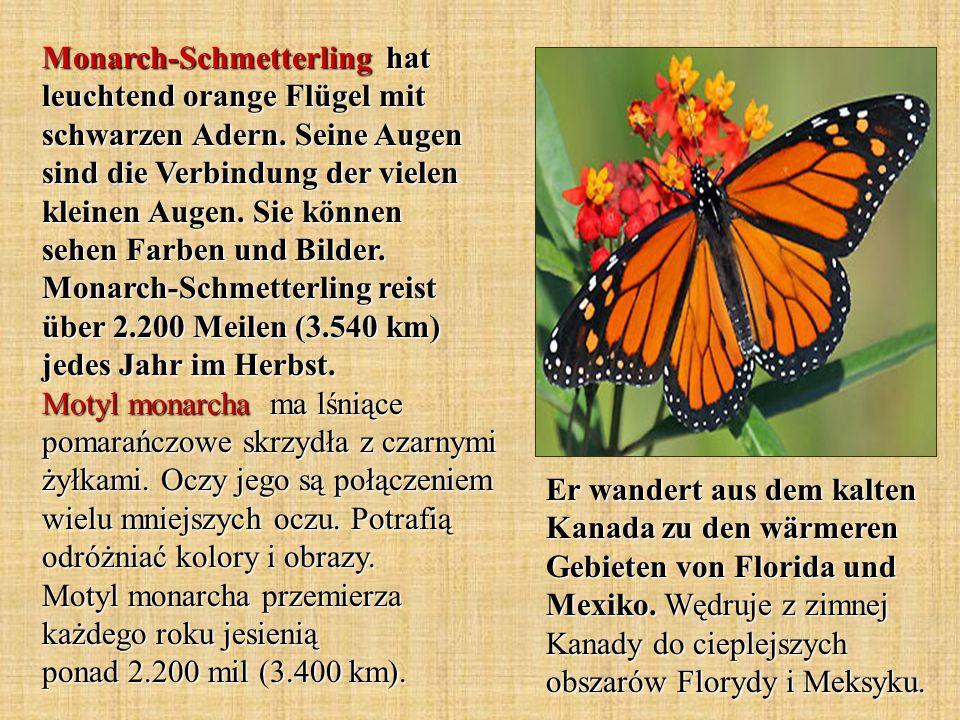 Monarch-Schmetterling hat leuchtend orange Flügel mit schwarzen Adern. Seine Augen sind die Verbindung der vielen kleinen Augen. Sie können sehen Farb