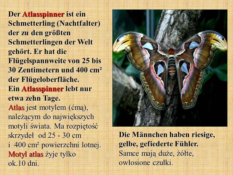 Der Atlasspinner ist ein Schmetterling (Nachtfalter) der zu den größten Schmetterlingen der Welt gehört. Er hat die Flügelspannweite von 25 bis 30 Zen