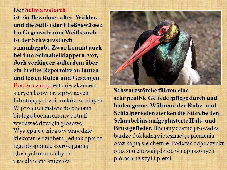 Der Schwarzstorch ist ein Bewohner alter Wälder, und die Still- oder Fließgewässer. Im Gegensatz zum Weißstorch ist der Schwarzstorch stimmbegabt. Zwa