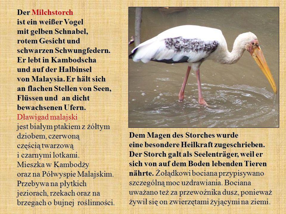 Der Milchstorch ist ein weißer Vogel mit gelben Schnabel, rotem Gesicht und schwarzen Schwungfedern. Er lebt in Kambodscha und auf der Halbinsel von M