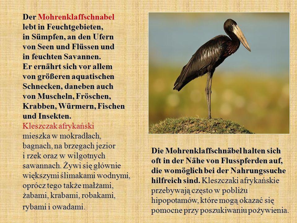 Der Mohrenklaffschnabel lebt in Feuchtgebieten, in Sümpfen, an den Ufern von Seen und Flüssen und in feuchten Savannen. Er ernährt sich vor allem von