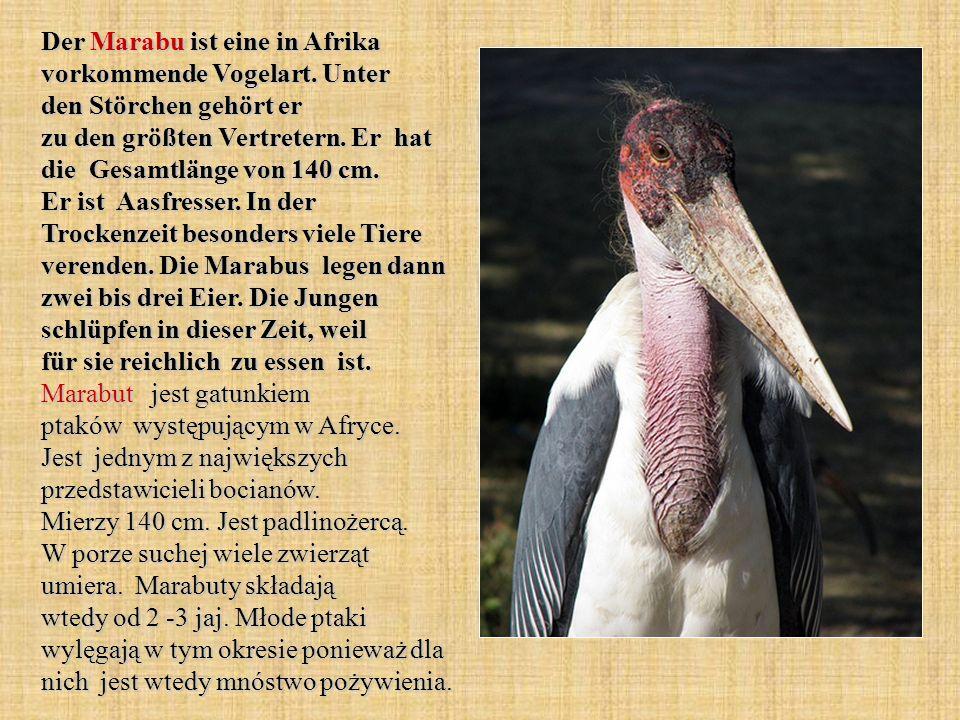 Der Marabu ist eine in Afrika vorkommende Vogelart. Unter den Störchen gehört er zu den größten Vertretern. Er hat die Gesamtlänge von 140 cm. Er ist